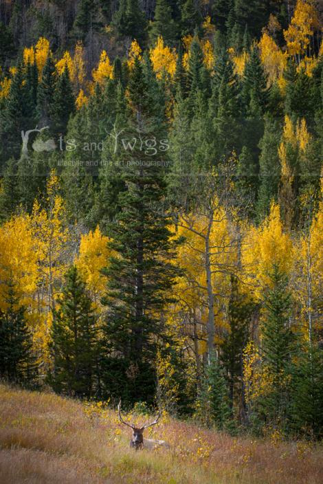 Elk and Aspens, RMNP