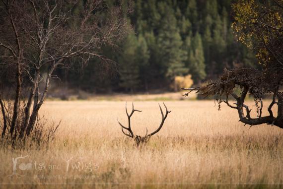 Bull Elk, Moraine Park