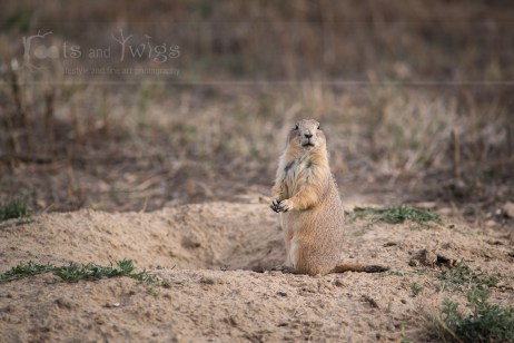 Prairie Dog in Fall