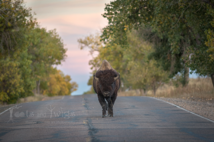 Bison on the Move Just Past Sunset, Colorado
