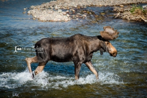 Bull Moose Crossing Gros Ventre River