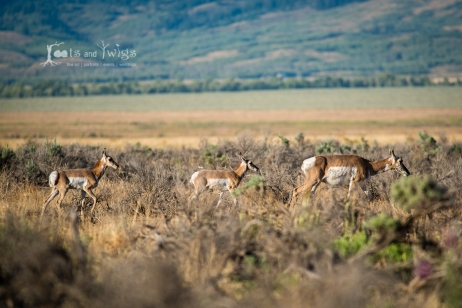 Pronghorn Mama and her Babies, GTNP