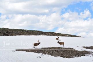 Bull Elks in Snow, Rocky Mountain National Park