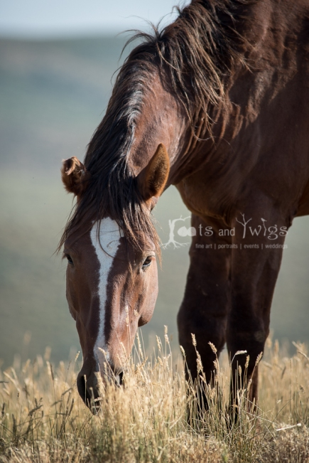Wild Stallion Grazing, Southern Wyoming