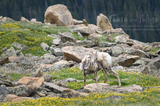 Young Rocky Mountain Sheep