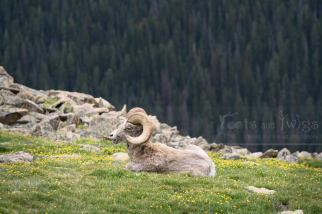 Male Rocky Mountain Sheep