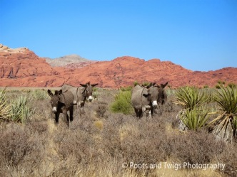 Wild Burros at Red Rock Canyon, NV