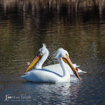 American White Pelican Mates